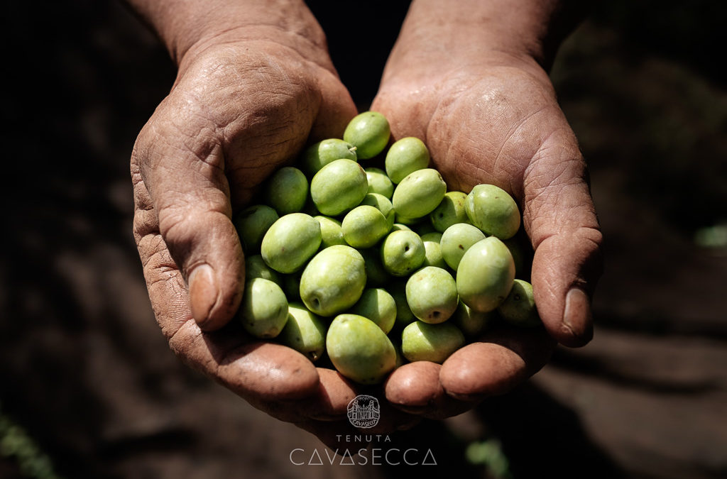Tempo di raccolta tenuta cavasecca for Raccolta olive periodo